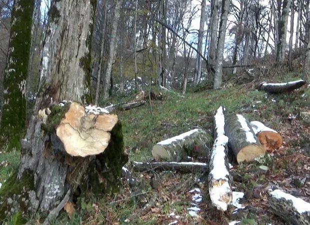 Qusarda kəsilən ağaclara görə araşdırma aparılır