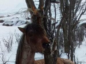 Azərbaycanda İnsanlığa sığmayan vəhşilik – Atı şaxtada ağaca bağlayıb ölümə tərk etdilər – FOTO