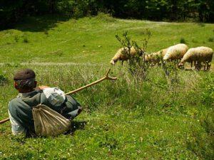 Fermadan 120 baş qoyun oğurlayan çoban TUTULDU