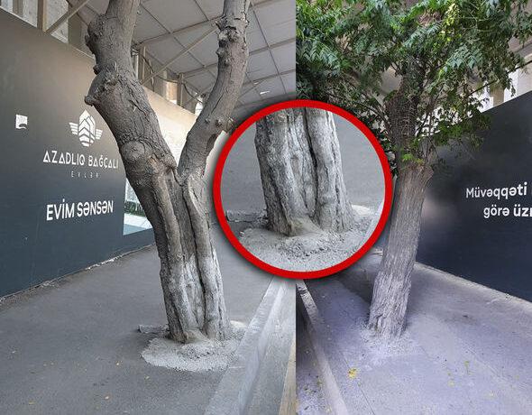 Bakıda tikinti şirkəti ağacları beton qəfəsə salıb – FOTO