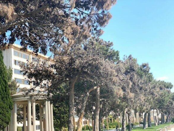 Bakıda yaşıllığı məhv edən xəstəlik yayılır, şam ağacları kütləvi kəsilir – FOTO