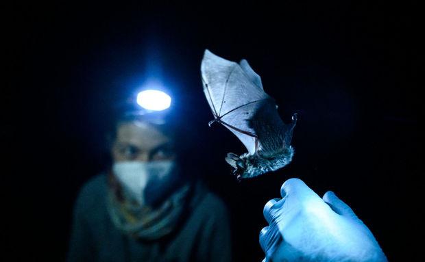 Yarasaları pandemiyadan əvvəl koronavirusa yoluxdurmağı planlaşdırıblar