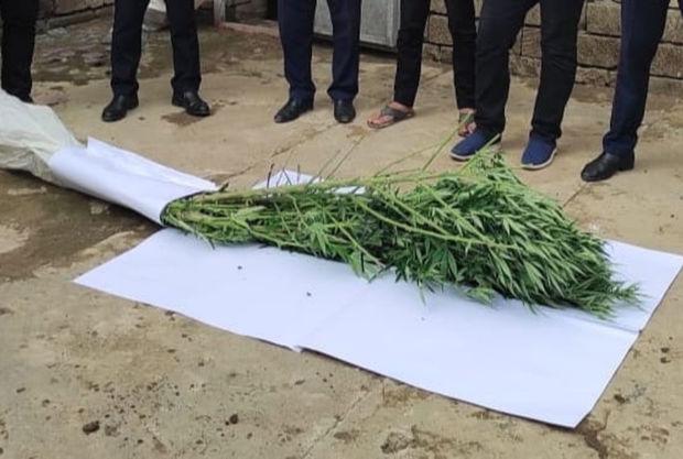 Həyətində narkotik tərkibli bitkilər yetişdirən Masallı sakini saxlanılıb – FOTO